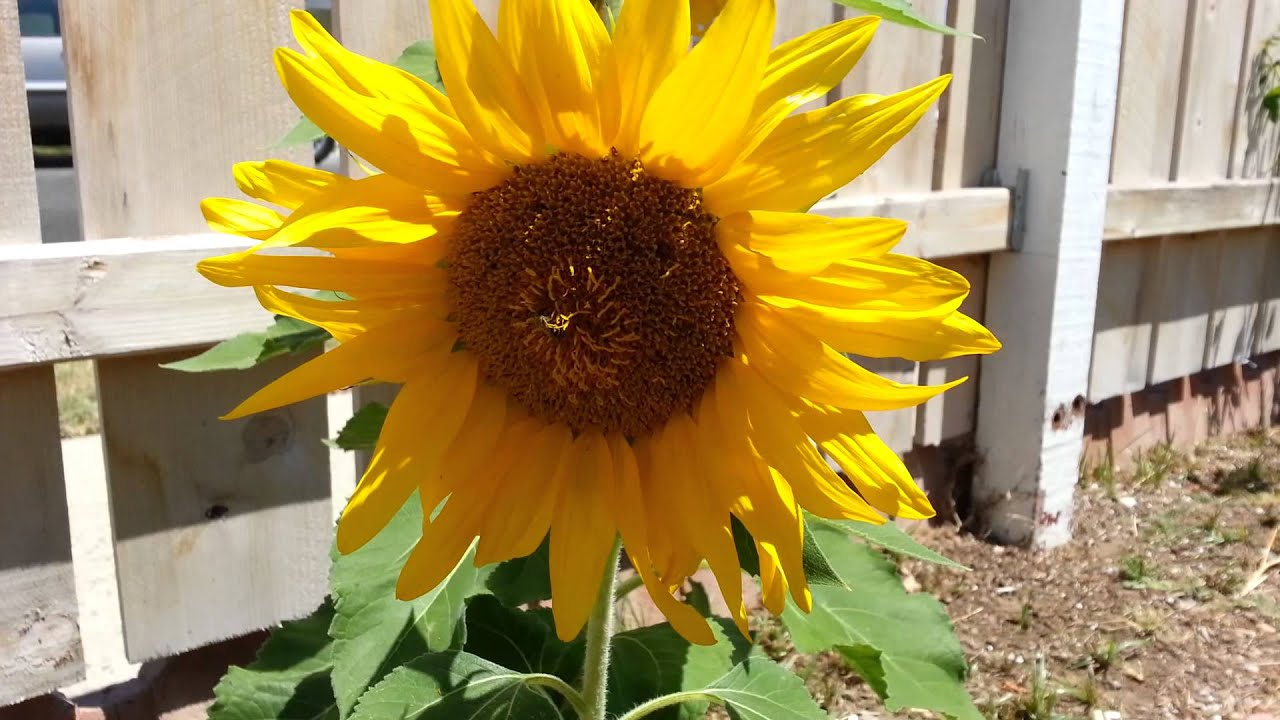 Sunflowers From Target Grow Kit Youtube