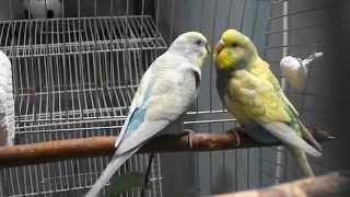Как самец кормит самку.  Про волнистых попугаев.As the male feeds the female.