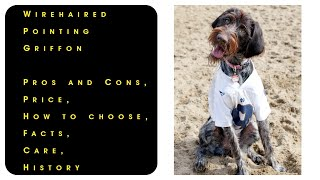 Wirehaired Pointing Griffon. Pros and Cons, Price, How to choose, Facts, Care, History