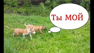 Ам стафф бойцовая собака, самая опасная порода на выгуле без поводка и ошейника