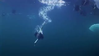 Ducks diving for mussels - Planet Earth - BBC