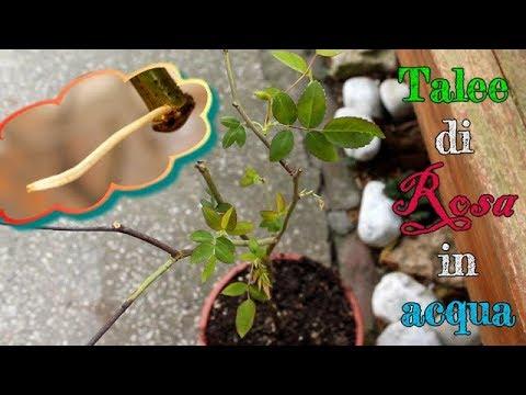 Talee Di Rosa In Acqua Rose S Cuttings In Water Youtube
