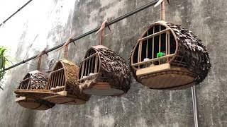 Bán chim cu gáy 650k/1 con riêng chim . Sđt 0908.070.555. Hà Nội. Ship Toàn Quốc.