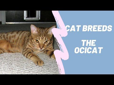OCICAT  CAT BREEDS