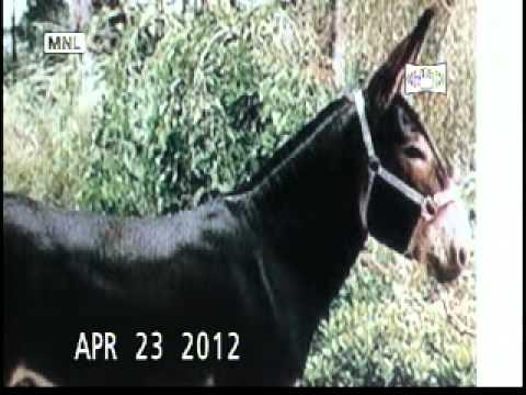 IR_Iran & Donkey ! گوشت خر در رستورانها ملایان thumbnail