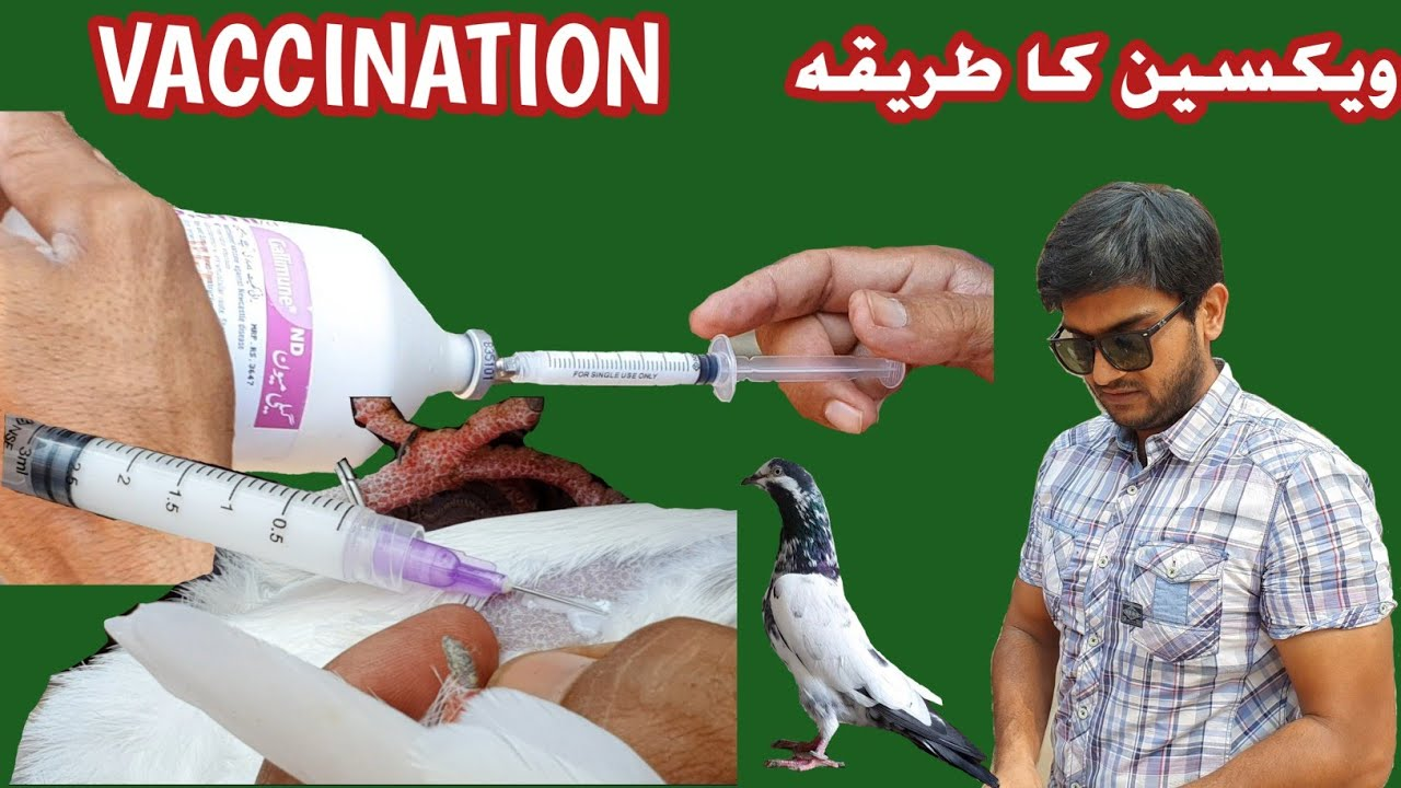 Download Pigeon Vaccination   Laqway aur Jholay ki Vaccine   Ranikhet   رانی کھیت کی  ویکسین
