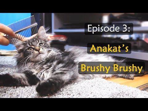 Ep3: Anakat the adorable Norwegian Forest Cat Kitten gets a big Brushy Brushy session!