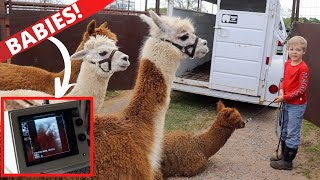 We Took the Alpacas to the Vet! Are They Pregnant?