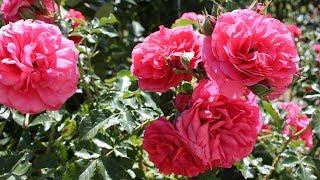 Выбираем розы для своего сада  Самые ранние сорта