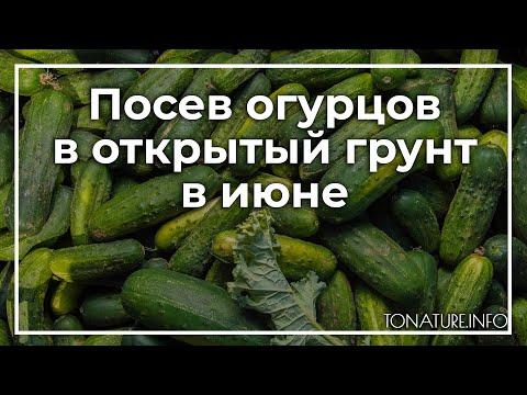 Посев огурцов в открытый грунт в июне | toNature.Info | черенковани | садоводство | размножение | выращивание | огородные | комнатные | растения | растений | культуры | tonatureinfo
