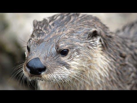 Otters Produce An Oil | Ở Dơ Như Con Rái Cá - Tiun