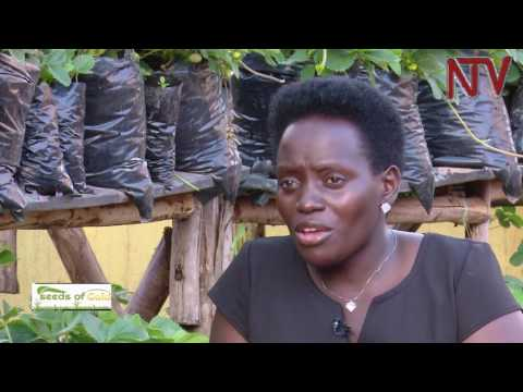 Seeds Of Gold: Dr. Diana Nambatya Nsubuga's urban farm