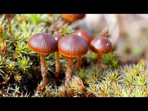 Псилоцибе горная / монтана (Psilocybe Montana) - галюциногенный гриб?