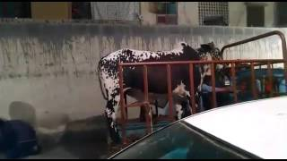 SHOCKING AND FUNNY Video of Cow on Eid