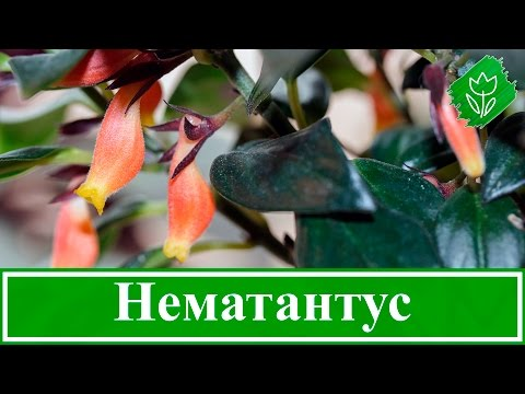 🥀 Цветок нематантус – уход в домашних условиях, виды и размножение гипоцирты