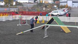 Miniature Schnauzer Iines Competing In Agility 2