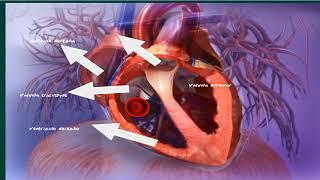 Pulmones desde vasos sangre corazón que oxigenada transportan los sanguíneos al
