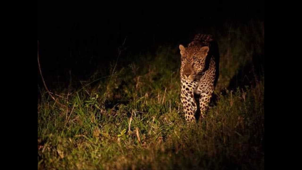 Image of: Dangerous Nocturnal Top 10 Of The Most Dangerous Nocturnal Animals In Africa Youtube Top 10 Of The Most Dangerous Nocturnal Animals In Africa Youtube