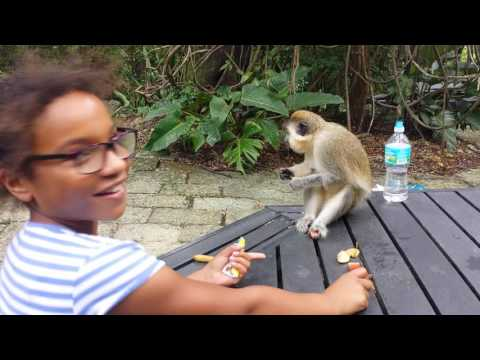 Barbados Wildlife Reserve - Monkey eats Lois Clarke's apple!