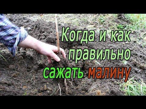 Когда и как правильно сажать малину | размножение | удобрения | удобрить | саженцы | посадка | осенняя | сажать | осенью | малины | малину