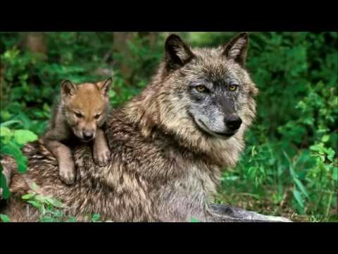 Reintroducing Wolves to Yellowstone