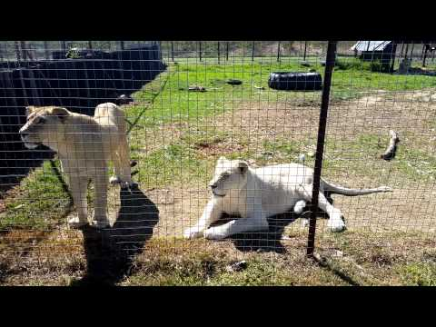 South African White Lions