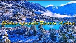 Живая природа Горного Алтая.(Горный Алтай - край нетронутой природы. Каждый сможет найти среди гор Алтая именно свою воплощенную мечту..., 2016-01-22T23:38:54.000Z)