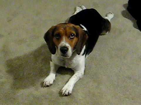 Chompers the Beagle/Ba...
