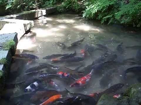 鯉の洗い・鯉のあらい・お取り寄せ・鯉料理の通 …