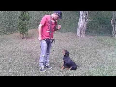 Veja como é Simples! Adestrando Filhote de Rottweiler. (11) 98864-0706