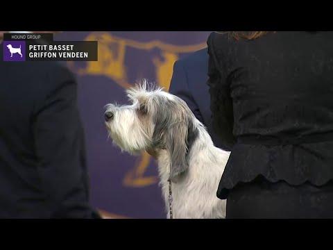 Petit Basset Griffon Vended | Breed Judging 2020