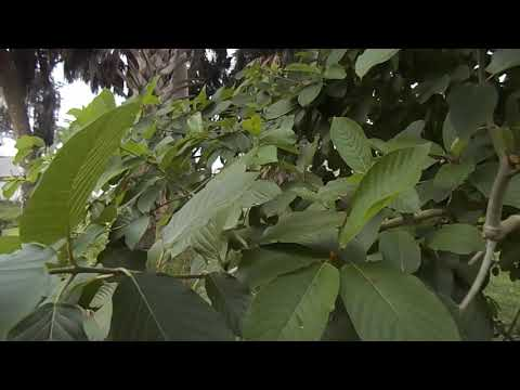 Big Kratom Leaves Growing Naturally. U.S.