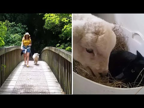 pet-sheep-acts-just-like-a-dog