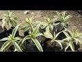 How to grow Dracaena Reflexa Plant (song of India) from cutting (Hindi)