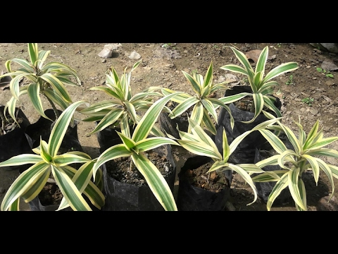 How to grow Dracaena Reflexa Plant (song of India) from cutting (Hindi)