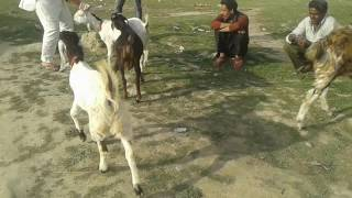 Bakra & bakri gazab video roorkee