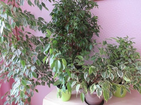 Моя коллекция  фикусов. Корневин. Пересадка. My collection ficus benjamina .Transplant.