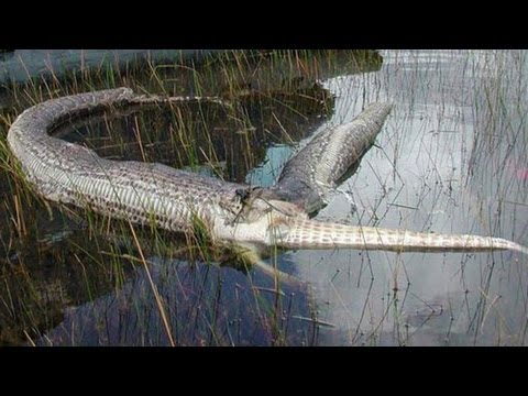 SNAKE BURSTS AFTER EATING ALLIGATOR