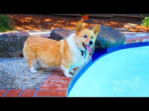 Corgi Attacking Pool Cleaner