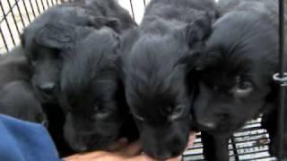 ブラックのフラットコーテッドレトリバー子犬兄妹!!<子犬の利根RS>