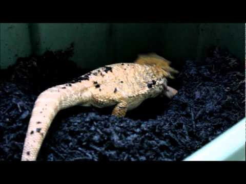 Bearded Dragon Egg Laying Process  YouTube