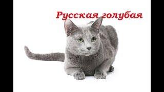 PetLife......Выбор котенка......Русская голубая.....