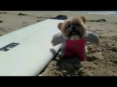Munchkin tries surfing