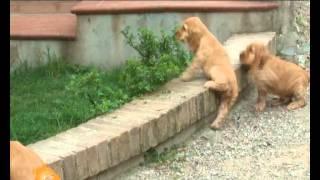 """""""cani, Gatti & C."""" - Servizio Sul Cocker Spaniel Inglese Nella Puntata Del 16 Maggio 2012"""