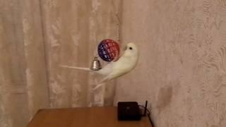 Волнистый попугай играется