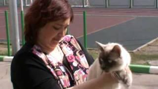 Выставка кошек PCA - бирманский кот