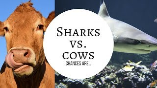 😂 Chances are You Get Killed by COW not SHARK 😂