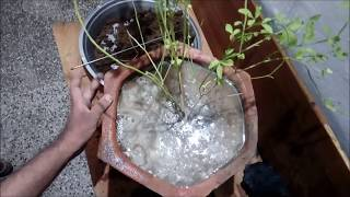 How to grow and care chameli plant | jasmin plant care | hindi
