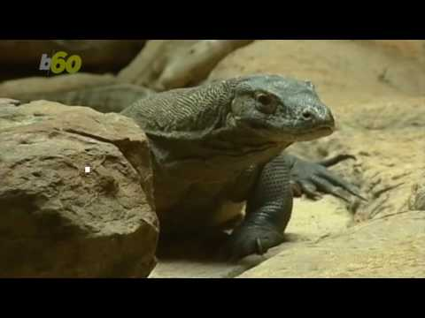 Komodo Dragon Blood Could Save Your Life