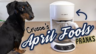 funny-dachshund-crusoe-is-the-april-fools-dog